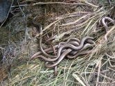 Photo 2 / 3 - Slow-worm - in Residence!